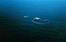 An aerial view of a purse seiner after the purse has been closed and the net isbeing hauled aboard.