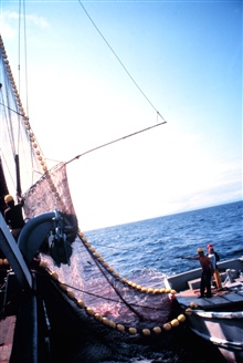 The net is now on board and the operation of collecting the fish has begun.The large basket in the upper left is dipped repeatedly into the water to bringthe fish on to the boat.