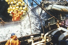 Chub mackerel (Scomber japonicus) being loaded on a boat.