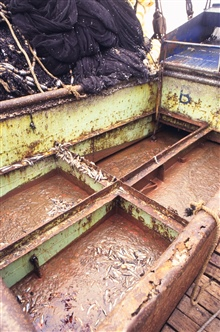 Decomposing fish in the hold of a purse seiner. Fish decompose as a result oflack of refrigeration.  Although this material is unfit for human consumption,it is used as a base for fishmeal for animal feed.