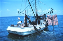 Double-rigged shrimp trawler with bag of one net about to be opened