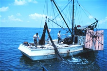 Double-rigged shrimp trawler dumping the catch from the bag of one net on deck