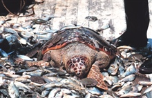 Before turtle excluder devices (TED) loggerhead turtles were casualties ofshrimping operations