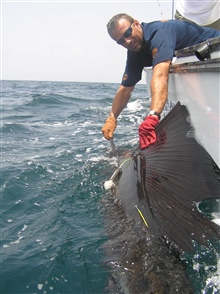Tagging and placing tracking device on large billfish