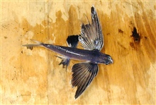 A species of flying fish.