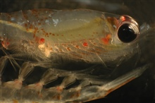 Zooplankton.  Euphausiid shrimp, popularly known as krill.