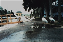 Wood storks hanging out at Mary's Fish Camp near the cleaning table.  Waitingfor a tidbit.