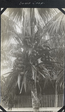 An overactive coconut palm.