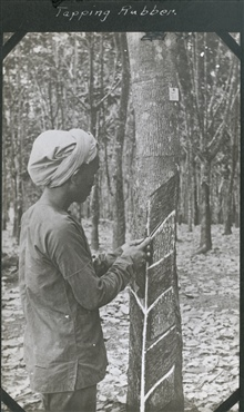 Tapping rubber from a rubber tree.