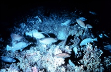 Grouper spawning aggregation in healthy Oculina varicosa habitat.