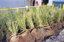Spartina alterniflora plants stockpiled prior to planting.