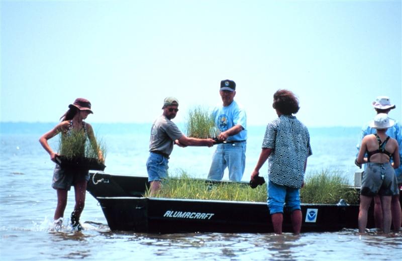 volunteers moving salt grass for restoration project (NOAA, public domain)