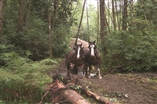 The draft horses used to haul woody debris at the restoration site were gentleand beautiful as well as less costly than heavy machinery.