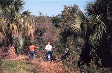 Volunteers at Indian River Lagoon. The lagoon is in the background and the imageshows how the mangrove canopy is being choked out by Brazilian Pepper.