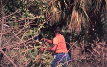 A volunteer removes Brazilian Pepper growth from mangrove habitat along theIndian River Lagoon.