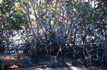 Mangroves unimpeded by Brazilian Pepper bushes.