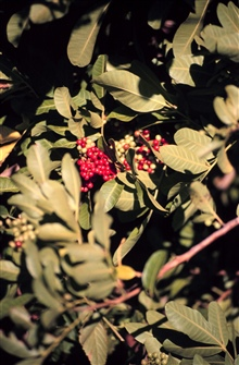 Brazilian Pepper bushes are an ornamental from Brazil that looks like Holly.They produce red berries that birds eat. The birds carry their seeds spreadingthe plant throughout mangrove habitat where the Pepper bush outcompetes themangroves. The red be