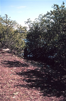 This area has been cleared of Brazilian Pepper to help the mangroves recolonizeat the waterline.
