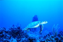 Endangered sea turtle cruises a coral reef in the Florida Keys.
