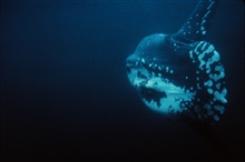 Ocean sunfish floats serenely in midwater.Mola mola.