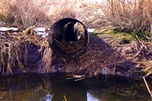 A malfunctioning culvert at the Quivett Creek marsh.
