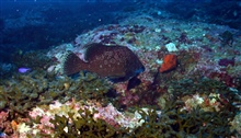 The marbled grouper (Epinephelus inermis)