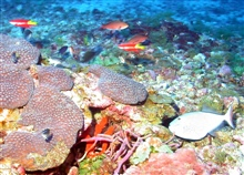 Coral (Montastrea cavernosa) with spotfin hogfish  ,creole , reef butterfly fish and an assortmentof smaller fish.