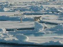 A polar bear cub curiously stands on its hind legs while its motherstays nearby. The two bears approached within 200 meters of the ship.