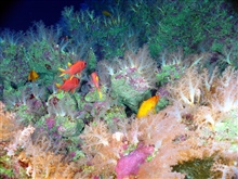 Pacific Ring of Fire Expedition. On the summit of East Diamante (170 mwater depth), all signs of hydrothermal venting have disappeared.  Softcorals (~10-15 cm tall) and tropical fish share theparadise we named Aquarium.