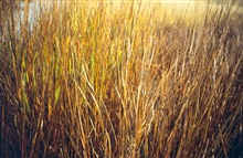 Dixon Bay, a close up of oiled Spartina alterniflora, emulsion and brownedleaves.