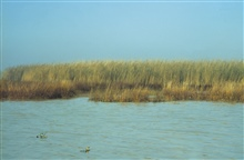 Dixon Bay, oiled Phragmites and Spartina alterniflora.