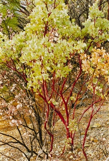 Manzanita bush, Iron Mountain Mine