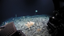 Corals and a large stalked sponge visible from Deep Discoverer.