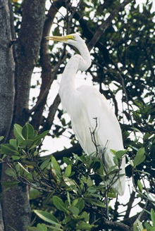 A Great Egret, Casmerodius albus, roosts in a tree.