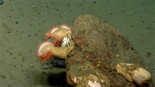 Orange venus flytrap anemones on boulder withwhite crab and fish below rock outcrop. .