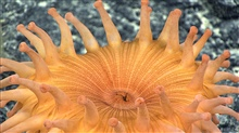 Closeup of the oral and same anal orifice of the orange anemone seen in imageexpn4187.
