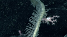 A black whip coral with translucent polyps.