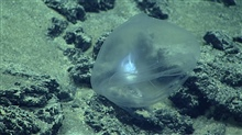 A very translucent carnivorous tunicate -Octacnemidae.