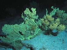 Large gold coral bushes.  Certain stands of this type of coral are claimed to be among the oldest living creatures on Earth with a lifespan of up tofour thousand years.