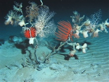 The tree of life with numerous species dangling from its branches.  The ripplepattern on the seafloor indicates a high current regime on the edge of the GulfStream. A basket star, numerous flytrap anemones, two brisingid sea stars,holothurians high i