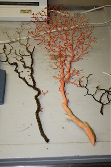 Orange and black coral bushes. The orange bush is often referred to asbubblegum coral.