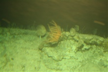 A strong current is running here as shown by the orientation of the crinoids.Because of the current, the ROV was difficult to control in this area.