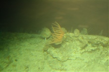 A strong current is running here as shown by the orientation of the crinoids.A strong current is running here as shown by the orientation of the crinoids.