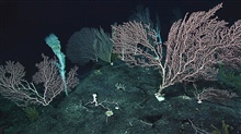Another amazing undersea garden of Coralliidae corals and a lone large sponge.