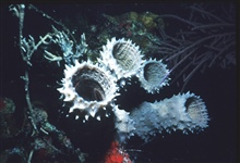 Estuary to Abyss Expedition 2004. White tube sponges, showing the largecentral osculum and similar ostia (pores) in the body wall.A brittle star can be seen in the sponge on the left.