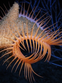 Operation Deep Slope 2007.  Venus flytrap anemone.