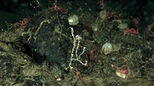 Small white coral, brittle stars, brachiopods, and a red shrimp