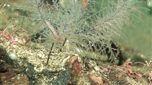 Small black coral bushes and brittle stars