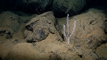 A small octocoral bush growing in a field of pillow lavas being covered withsediment.