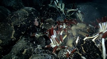 One of the largest concentrations of Riftia observed, with anemones andmussels colonizing in close proximity.